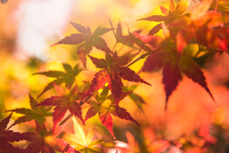 Autumn red and green Japanese maple leaf in garden with sunlight. Stock Photo