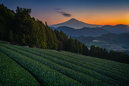 Mt. Fuji with green tea field at sunrise in Shizuoka, Japan.