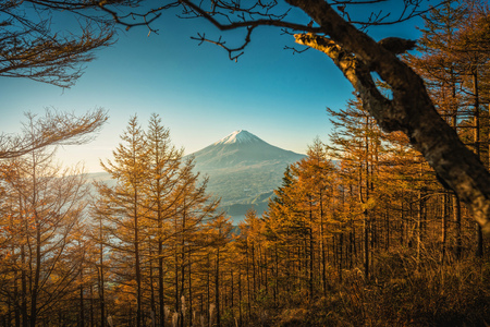 Mt. Fuji with autumn pine trees at sunrise in Fujikawaguchiko, Japan.