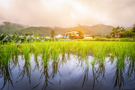 Rice paddy field at sunset.