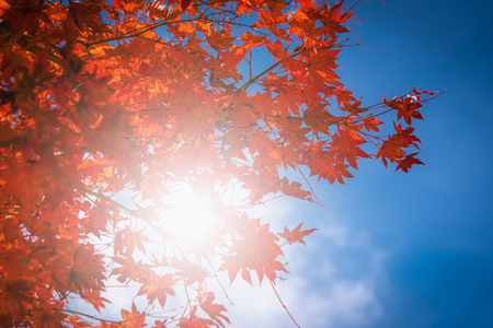 Autumn red Japanese maple leaf on blue sky in garden with sunlight.