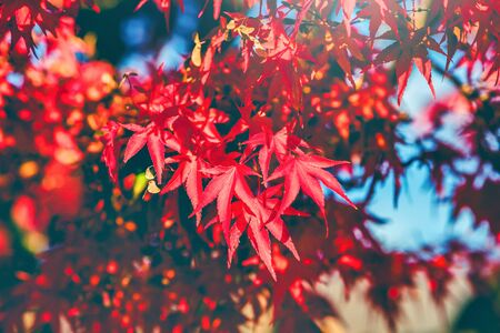 Autumn red and yellow Japanese maple leaf in garden with sunlight. Vintage tone