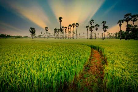 Sugar palm tree and green paddy rice plantation field at sunrise.