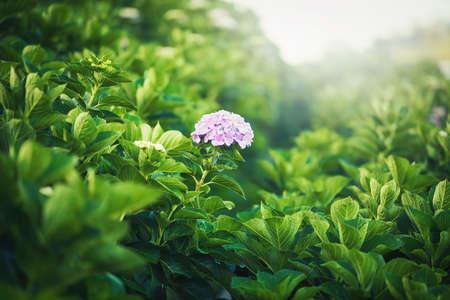 Beautiful Purple Hydrangea flower on blurred background in garden at daytime 版權商用圖片