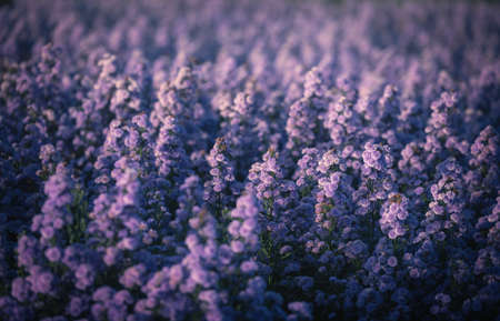 Beautifully purple margaret flowers bloom on field background at daytime.
