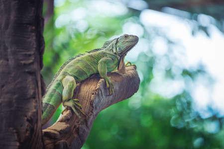 Green iguana was resting on a cob wood on blurred background 版權商用圖片