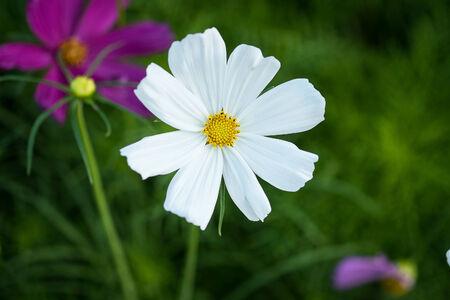 dasiy: dasiy white flower Stock Photo
