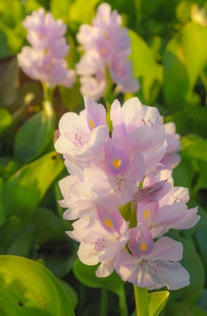 hindering: Water Hyacinth is a plant growing quickly and is a top issue hindering water flows Stock Photo