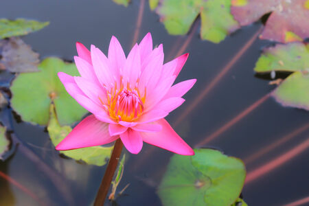 The Buddhist people would planted lotus for worship the Buddha. photo