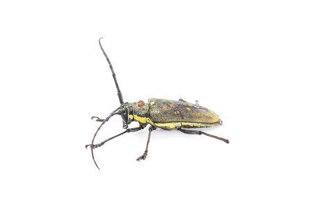 the antennae: Long antennae beetle isolated on white background.
