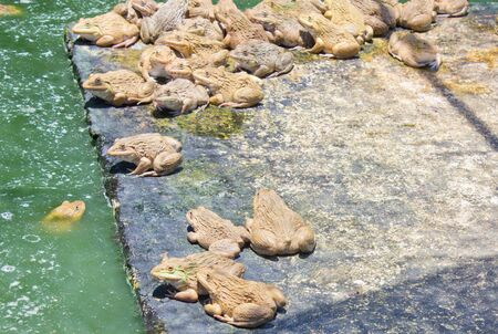 sapo: Las ranas que los agricultores toman criado en un ba�o de agua. Foto de archivo