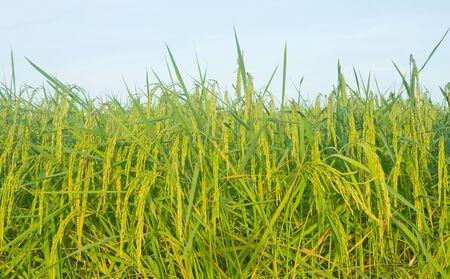 Jasmine rice is a good quality rice grown in the Northeast of Thailand. Stock Photo