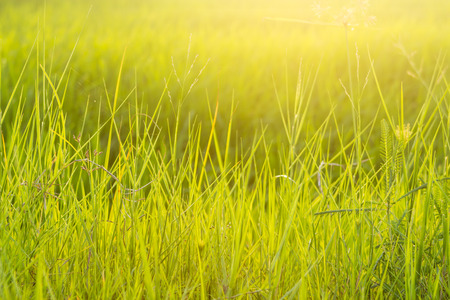 Background of green grass on a warm light in the morning.