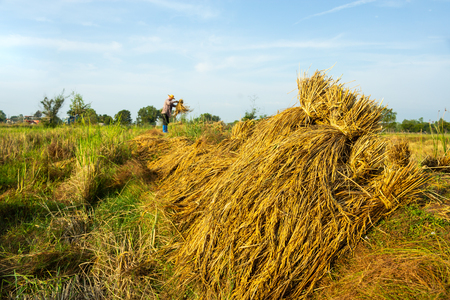 Farmers in northeastern Thailand harvest rice yields.