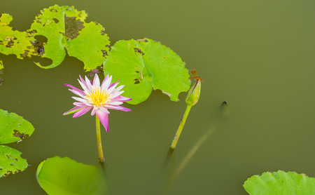 Lotus bloom in the morning in the park.