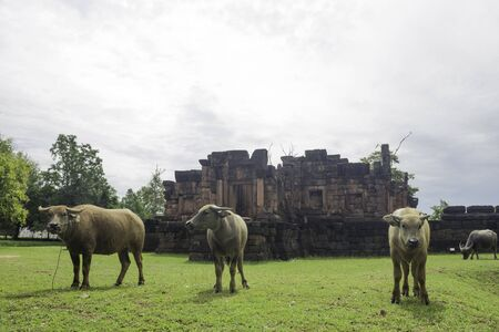 The buffalo is eating grass in Prasat Pueai Noi area of Khon Kaen, Thailand