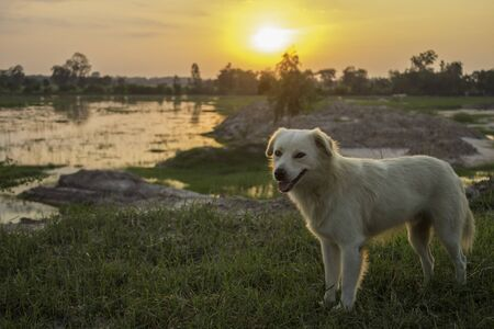 White dog sitting on the lawn in a Thai countryside Stockfoto
