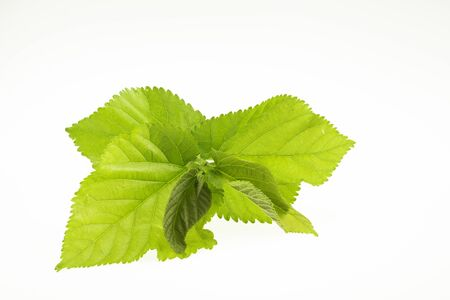 Mulberry is a Thai herb that has anti-ischemic effects in the brain. Against free radicals And also high in vitamin C
