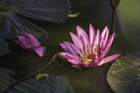 Pink lotus flowers that bloom in natural water. Archivio Fotografico - 138022069