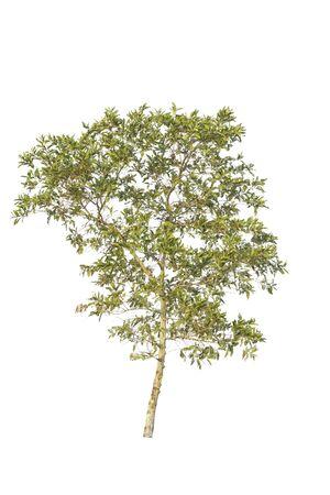 Tree  isolated on white background Zdjęcie Seryjne