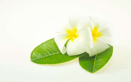 Plumeria flower isolated on a white background