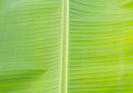 The surface of the banana leaves with dew