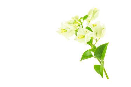 White bougainvillea isolated on a white background