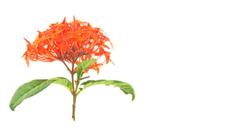 Ixora chinensis lamk isolated on a white background