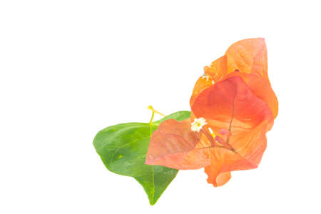 Pink bougainvillea isolated on a white background