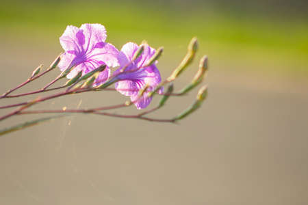 Minnieroot flowers blooming in the garden