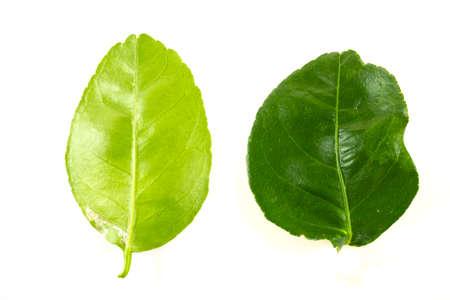 Citrus leavesisolated on white background 免版税图像 - 159195927