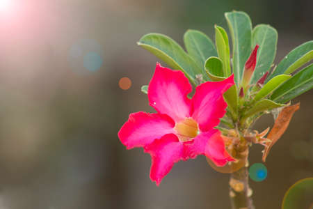 Impala lily that blooms in the park