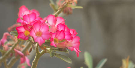 Impala lily that blooms in the park 免版税图像 - 160427095