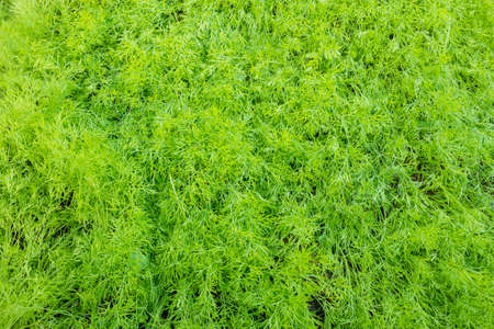 Background of dill vegetables in the garden