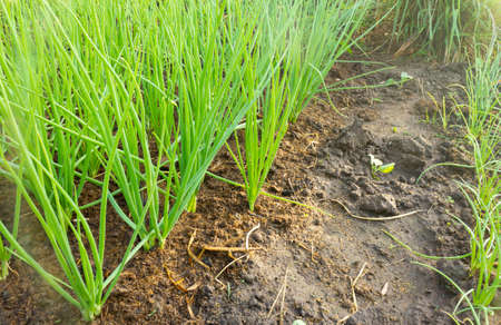 Spring onions growing on farmland 免版税图像