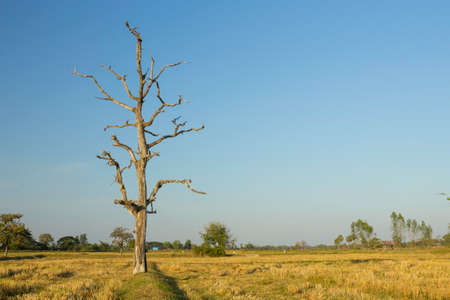 Dead trees are on a rice field in northeastern of Thailand. 免版税图像