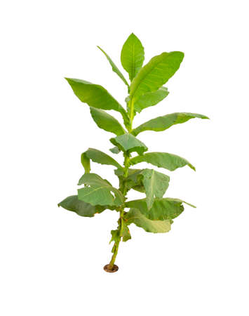Tobacco tree isolated on white background 免版税图像