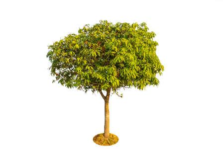 Mango tree isolated on white background 免版税图像 - 163852793