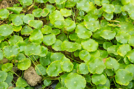 Centella asiatica is a small herbaceous plant and is a Thai herb with medicinal properties.