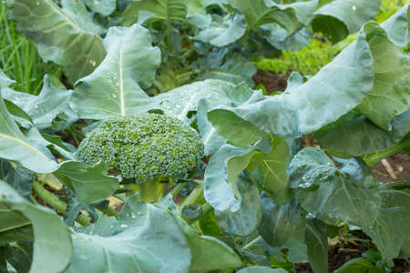 Broccoli vegetables in the farmland waiting to be harvested.