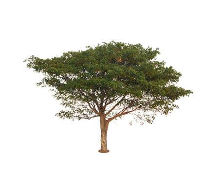 Rain tree  isolated on white background