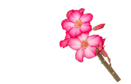 Plumeria flowers isolated on a white background 免版税图像