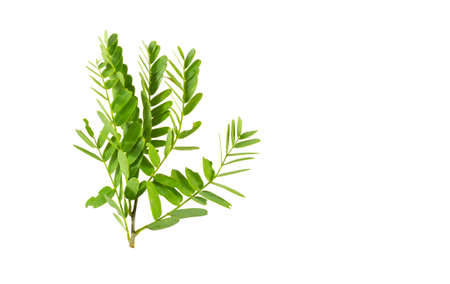 Tamarind leaves isolated on a white background
