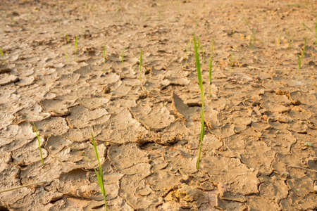 Rice seedlings growing in the midst of a drought. 免版税图像
