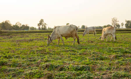 Herds of cattle graze in the fields of rural Thailand.