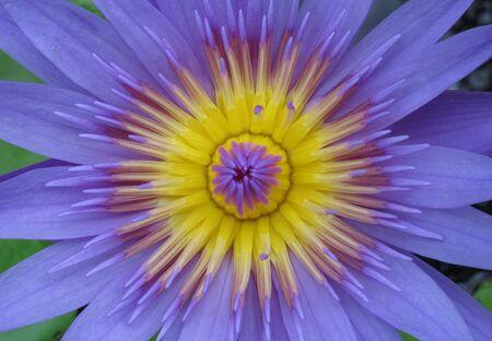 pollen: Lotus pollen Stock Photo