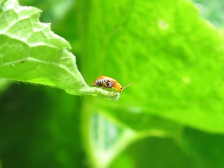 coccinella: Ladybug3 Stock Photo