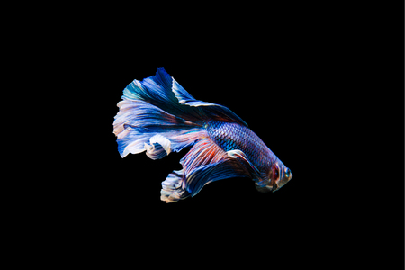 Tail of thai fighting fish.Capture the moving moment of white siamese fighting fish isolated on black background, Betta splendens,Gifts for Arabs,Thailand Culture be alive,Gifts for Europeans Foto de archivo