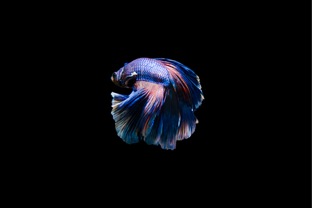 Tail of thai fighting fish.Capture the moving moment of white siamese fighting fish isolated on black background, Betta splendens,Gifts for Arabs,Thailand Culture be alive,Gifts for Europeans Stok Fotoğraf