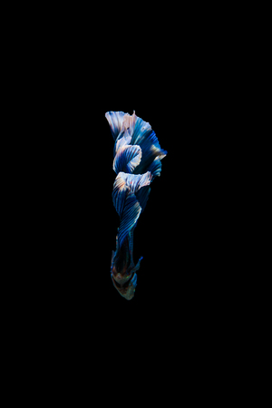 Tail of thai fighting fish.Capture the moving moment of white siamese fighting fish isolated on black background, Betta splendens,Gifts for Arabs,Thailand Culture be alive,Gifts for Europeans Stock Photo